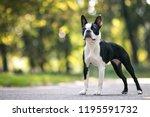 boston terrier posing in the... | Shutterstock . vector #1195591732