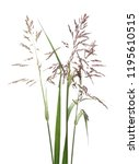 cane  reed seeds and grass...   Shutterstock . vector #1195610515