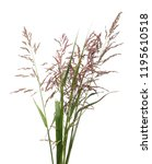 cane  reed seeds and grass... | Shutterstock . vector #1195610518