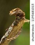 crested gecko  correlophus... | Shutterstock . vector #1195681015