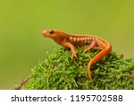 Tylototriton shanjing, the emperor newt, Mandarin newt or Mandarin salamander, is a highly toxic newt native to China.