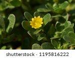 portulaca oleracea blooming | Shutterstock . vector #1195816222
