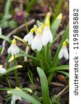 galanthus nivalis or common... | Shutterstock . vector #1195885882