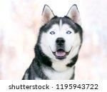 a purebred siberian husky dog... | Shutterstock . vector #1195943722