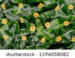 Stock photo  backgrounds leaves and small flowers yellow flowers on green leaves 1196058082
