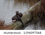 One river otter watches jealously as the other otter feasts on an arctic char on a log in Alaska