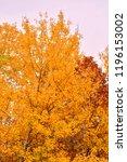 golden leaves of aspen. october ...   Shutterstock . vector #1196153002