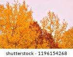 golden leaves of aspen. october ...   Shutterstock . vector #1196154268