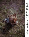 female yorkshire terrier... | Shutterstock . vector #1196192968