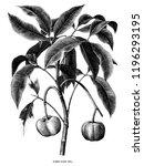 rubber plant botanical hand... | Shutterstock .eps vector #1196293195