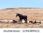 Iconic Wild Horses Live Free In ...
