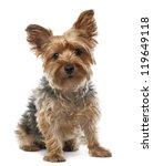 Yorkshire Terrier  2.5 Years...