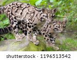 two young clouded leopards... | Shutterstock . vector #1196513542