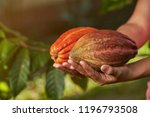 Close Up View Of Cacao Pods On...