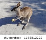 kangaroo carrying a baby joey...   Shutterstock . vector #1196812222