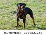 cute dog rottweiler in the park ... | Shutterstock . vector #1196821258