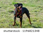 cute dog rottweiler in the park ... | Shutterstock . vector #1196821348