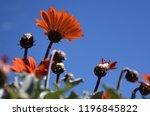 orange gerbera jamesonii... | Shutterstock . vector #1196845822