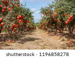 ripe pomegranate fruits on the... | Shutterstock . vector #1196858278