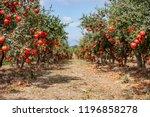 Ripe Pomegranate Fruits On The...