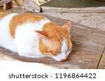 thai cat  cat yellow white  cat ... | Shutterstock . vector #1196864422