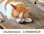 thai cat  cat yellow white  cat ... | Shutterstock . vector #1196864425