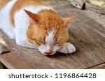 thai cat  cat yellow white  cat ... | Shutterstock . vector #1196864428