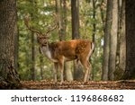 Male Of Fallow Deer In The...