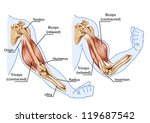 biceps  triceps   movement of... | Shutterstock .eps vector #119687542