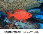 Bigeye perch in the coral reef - stock photo