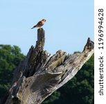 kestrel perched on a dead tree | Shutterstock . vector #1196994628