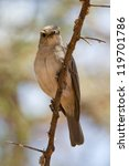 Small photo of African Grey Flycatcher