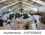 herd of goats in a large stable | Shutterstock . vector #1197020632