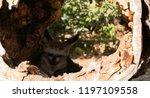 bat eared fox | Shutterstock . vector #1197109558