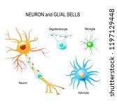 cells of human's brain. neuron... | Shutterstock .eps vector #1197129448