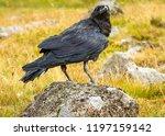 raven  large black bird  part...   Shutterstock . vector #1197159142