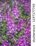 angelonia flower  angelonia... | Shutterstock . vector #1197177745