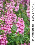 angelonia flower  angelonia... | Shutterstock . vector #1197177748