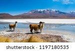llamas in laguna hedionda  ...   Shutterstock . vector #1197180535