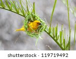 Golden Palm Weaver Bird ...