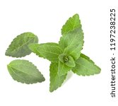 stevia leaves pieces isolated... | Shutterstock . vector #1197238225