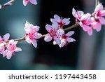 beautiful blooming peach trees... | Shutterstock . vector #1197443458