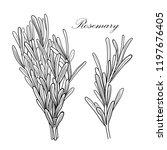 black and white vector rosemary ... | Shutterstock .eps vector #1197676405