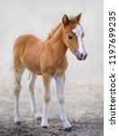 Stock photo american miniature horse portrait chestnut foal with blaze facial mark on blurred background 1197699235