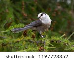 gray jay  perisoreus canadensis ... | Shutterstock . vector #1197723352