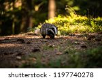 badger in forest  animal in... | Shutterstock . vector #1197740278