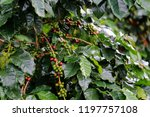 arabica coffee berry ripe on... | Shutterstock . vector #1197757108