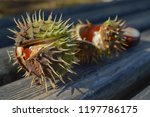 Chestnuts Have Fallen From The...