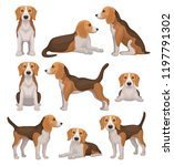 flat vector set of beagle dog... | Shutterstock .eps vector #1197791302