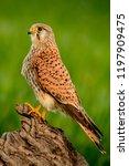 beautiful profile of a kestrel... | Shutterstock . vector #1197909475